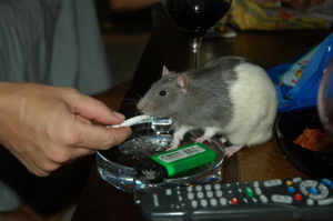 Next study: Do rats laugh when you get them stoned?