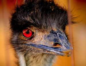 Little know fact: Robotic emus account for over half of the fatalities in my hallucinations.