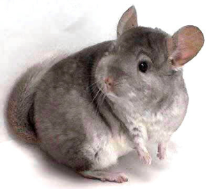 No! I know it smells like cheese, but it's a trap! Run, chinchilla! Run for your life!