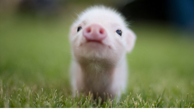 Sadly, Bogart's is no longer in business, so here is a picture of an adorable piglet instead.